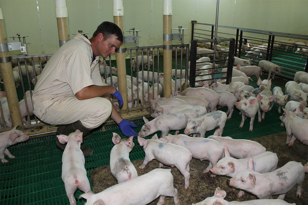 Securing Indiana's Pork Supply