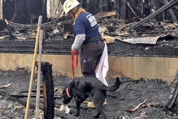 Black arson canine walks through burned house wreckage with handler