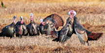 Male turkeys, called toms, are the center of attention during a spring squabble in Wabash County. Fighting during the early part of the breeding season can be a common sight.