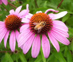 Honey Bee on a coneflower