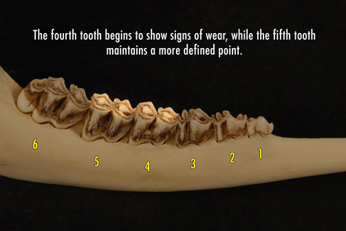 Photo of deer jaw with the fourth tooth beginning to show signs of wear, while the fifth tooth maintains a more defined point.