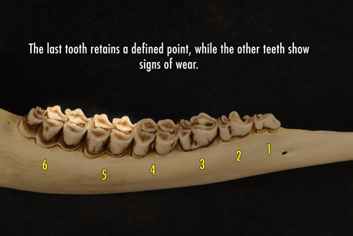 Photo of deer jaw with the last tooth retaining a defined point, while the other teeth show signs of wear.