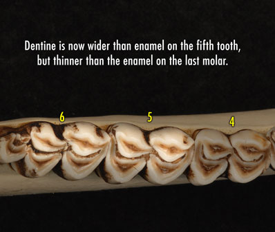 Apical view photo of deer jaw showing that the dentine is now wider than the enamel on the fifth tooth, but thinner than the enamel on the last molar.