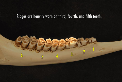 Photo of deer jaw showing heavily worn ridges on the third, fourth, and fifth teeth.