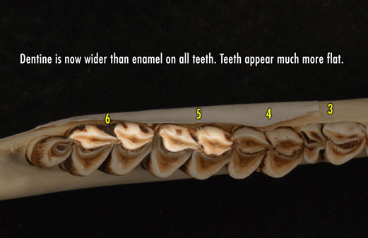 Apical view photo of deer jaw showing that the dentine is now wider than enamel on all teeth. Teeth appear much more flat.