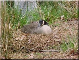 canada goose natural diet