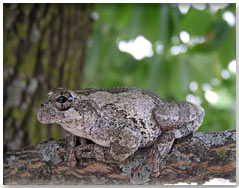Easter Gray Treefrog
