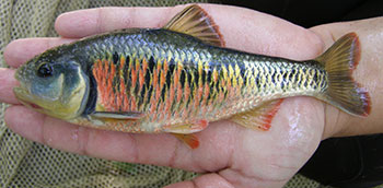 Photo of a Striped Shiner fish in the palm of a hand