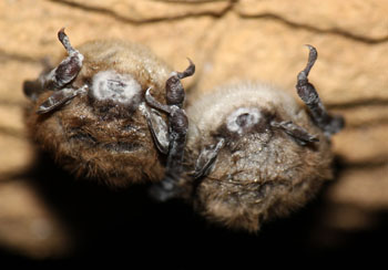 two bats showing visible signs of White Nose Syndrome