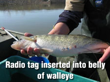 Radio tag inserted into belly of walleye.