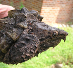 DNR: Alligator Snapping Turtle