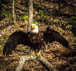 Bald Eagles Have Been The National Symbol Of United States Since 1782
