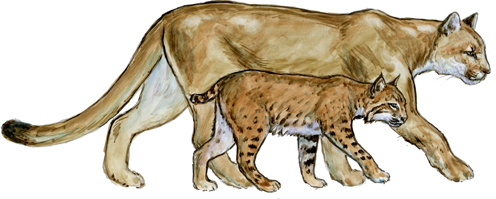 size comparison of a bobcat versus a mountain lion