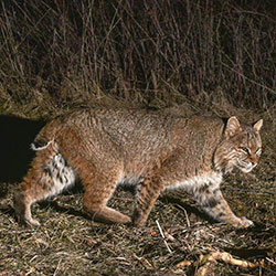 DNR: Bobcats in Indiana