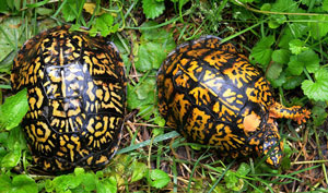 Two Box Turtles viewed from above