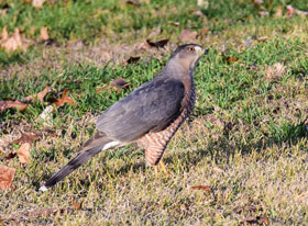 Cooper's Hawk (Accipiter cooperii)/ Photo taken by Mary Adams Bellegante