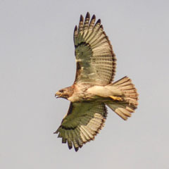 Red-tailed Hawk (Buteo jamaicensis) in flight/ Photo taken by J. Emmack