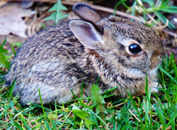 cottontail rabbit bunny