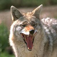 DNR: Coyotes