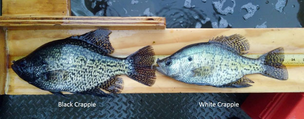 Comparison photo showing a Black Crappie on the left and a White Crappie on the right