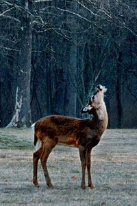 deer in woods sniffing air