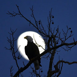 Bald eagle in moonlight