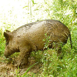 Feral Swine Sightings In Michigan Map.Dnr Feral Wild Hog