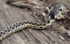 (Thamnophis sirtalis) Common gartersnake 5525f1341