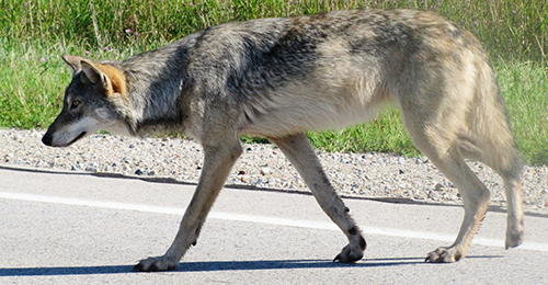 Dnr Wolf