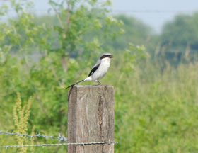 Loggerhead shrike on a fence pole.