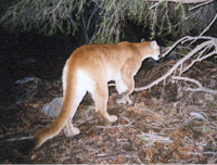 DNR: Mountain Lions in Indiana