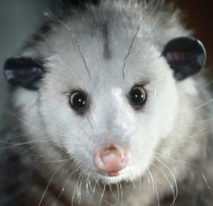 DNR: Opossum
