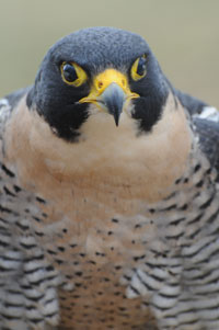 DNR: Peregrine Falcon
