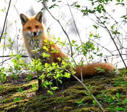 Red foxes common in most Kansas cities and towns - News