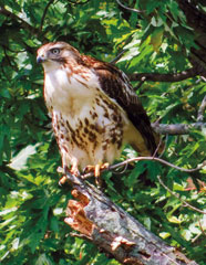 Crystal snapped this photo of a red-tailed hawk on a late September morning at Kankakee Fish & Wildlife Area. She was moving to another section of the area when she spotted the hawk in a tree overlooking the Yellow River. Browne is a physician biller for a local hospital.