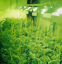 Indoor Marijuana Growing Operation